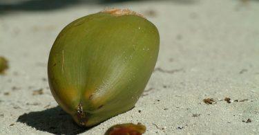 Kokosmehl wird aus der Kokosnuss gewonnen